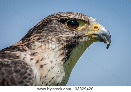 Saker Falcon Hybrid