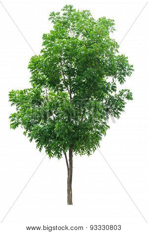 The Single Tree On White Isolate Background.