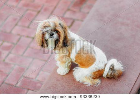Shihtzu Dog