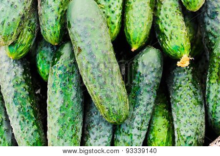 several fresh green cucumbers lie in one place