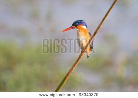 Malachite Kingfisher Sitting On Reed And Look At Fish In The Water