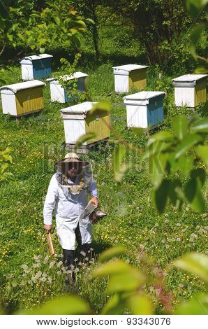 Experienced senior apiarist working in apiary in the springtime