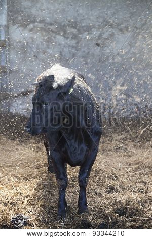 Young Black Cow In Stable With Fresh Straw