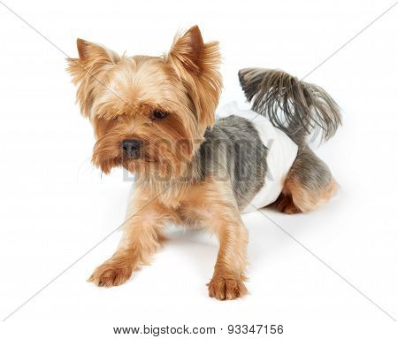 Male Dog In Diapers
