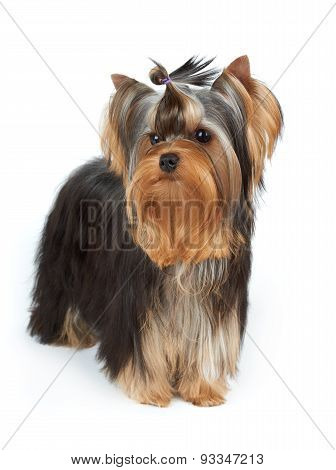 Yorkie With Stylish Top Knot