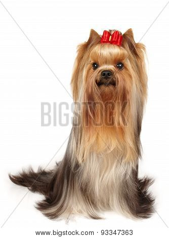 Show Class Yorkie With Bow