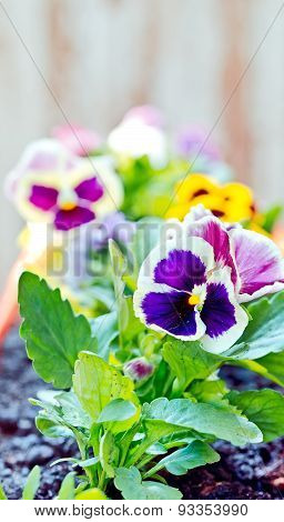 Big Bush Blooming Flowers, Pansies In The Garden