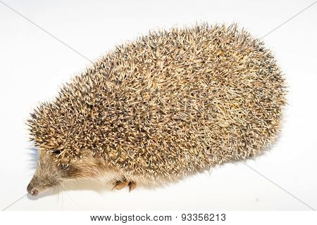 Hedgehog On White Background. Small Mammal With Spiny Hairs On Its Back And Sides.