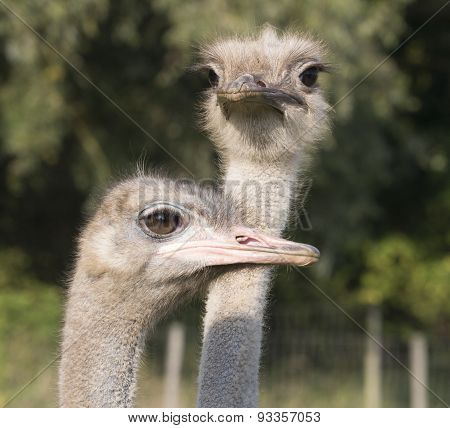 Heads Of Two Emu Or Ostriches