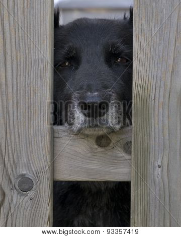 Sad Elderly Dog Peering Out Between Fence Posts