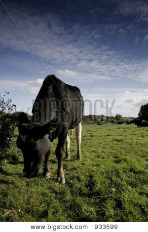 Dairy Cow In A Meadow