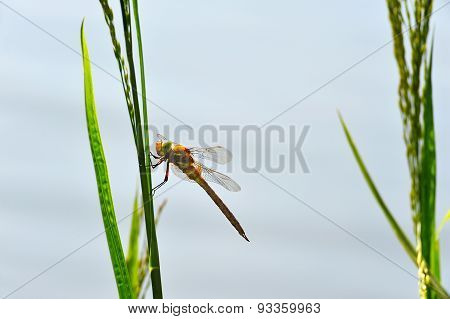 Dragonfly Sympetrum Close-up Sitting On The Grass