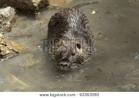 Big Nutria Swims