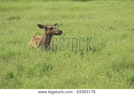 Deer In The Steppe