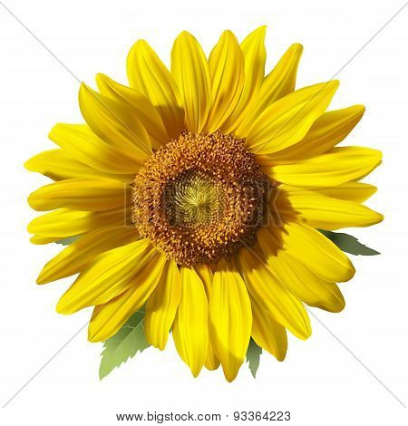 Sunflower - Heliantus