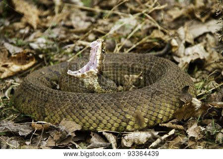 Cottonmouth Snake Coiled