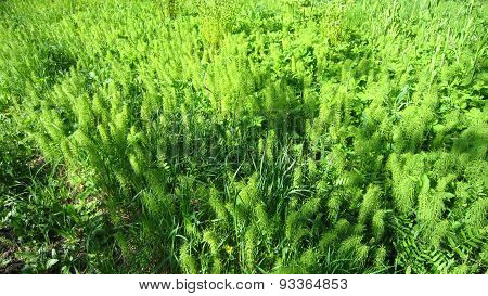 Common Horsetail Field