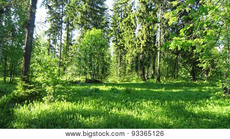 Sunny Forest Thicket
