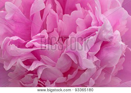 Petals Of Pink Peony