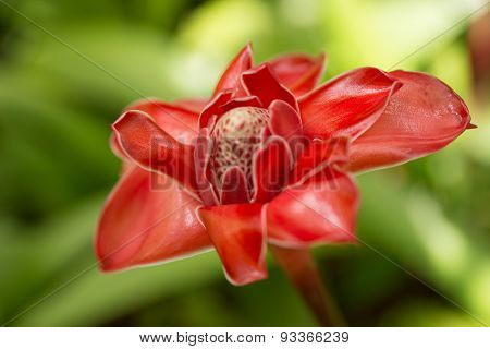 Red Torch ginger flower in Martinique