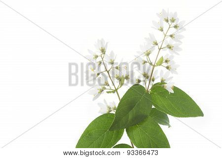 Flowering Deutzia Magnifica shrub