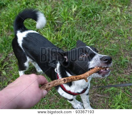 Black And White Dog Gnawing Stick