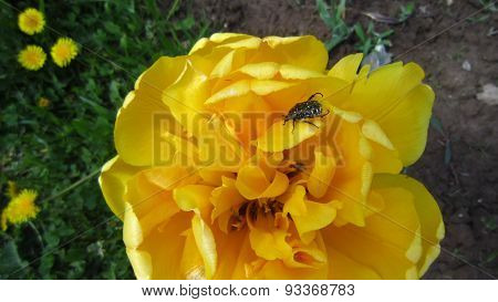 Yellow Tulpis
