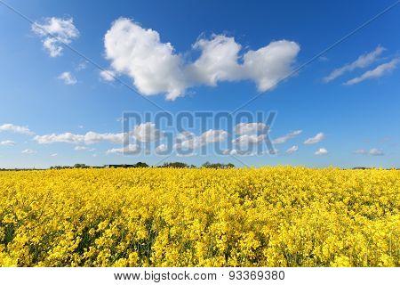 Oilseed Flower Field And Blue Sky