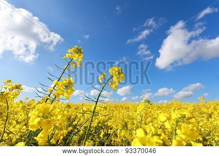 Oilseed Flower Field And Blue Sky In Summer
