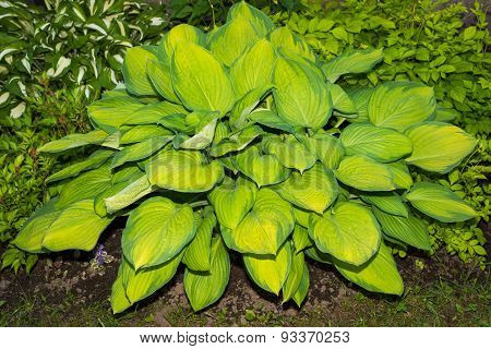 Big Plant Khosta Or Hosta, With Rare Yellow And Green Leaves