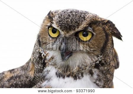 Great Horned Owl Isolated