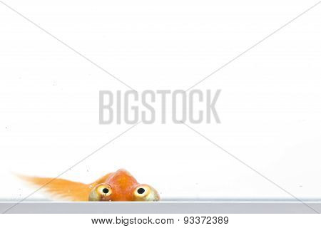 Celestial Eye Goldfish looking upwards