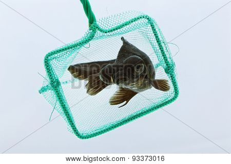 Globe eyed goldfish escaping from net
