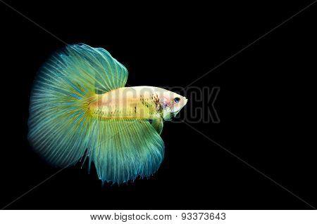 Betta Splendens fish