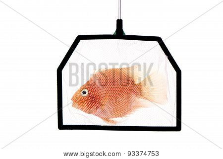 trapped Blood Parrot Cichlid in fishnet