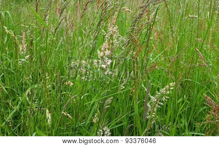 Diverse Grasses And Seed Heads