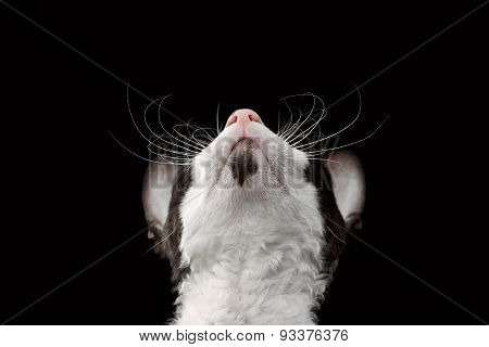 Closeup Portrait of Cornish Rex Looking Up Isolated on Black