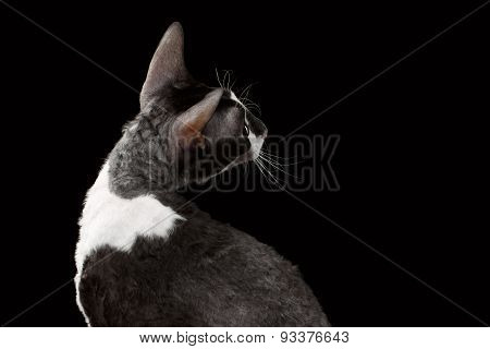 Cornish Rex Looking Back Isolated on Black