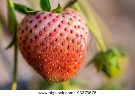 Close Up Shot Strawberry With Planting Strawberry Background