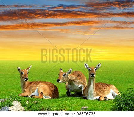 Herd of Red lechwe antelope