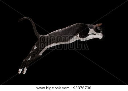 Jumping Cornish Rex Cat Isolated on Black