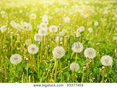 Dandelions On Summer Meadow