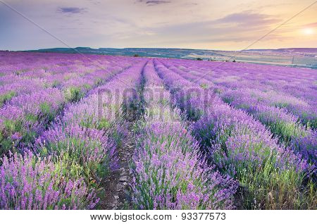 Meadow Of Lavender On Sunset.