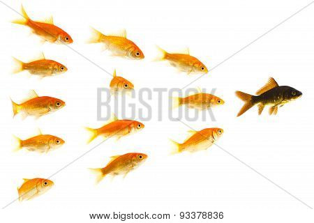 orange goldfishes following black one