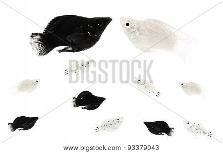 interracial fish couple with mixed offspring