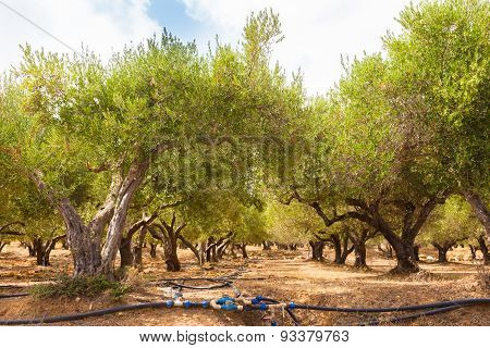 Irrigated olive grove.