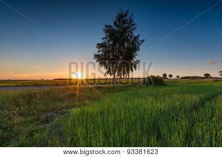Green Rye Field At Sunset. Rural Landscape