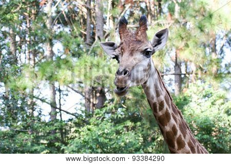 Giraffe In Tropical Forest