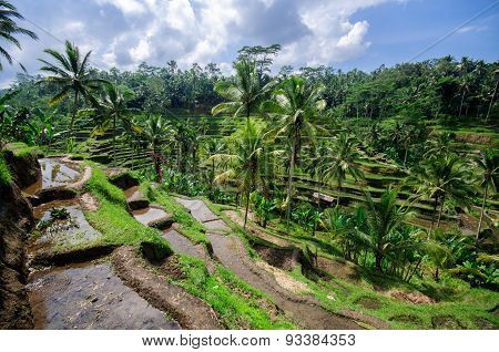 Terrace Rice Fields On Bali, Indonesia