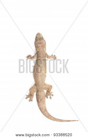 Close Up Dead Of Lizard Isolated On White